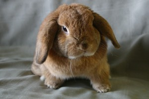 Holland_lop is the type of pet we include in small animal care