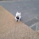 West Highland Terrier training
