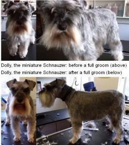 Schnauzer grooming