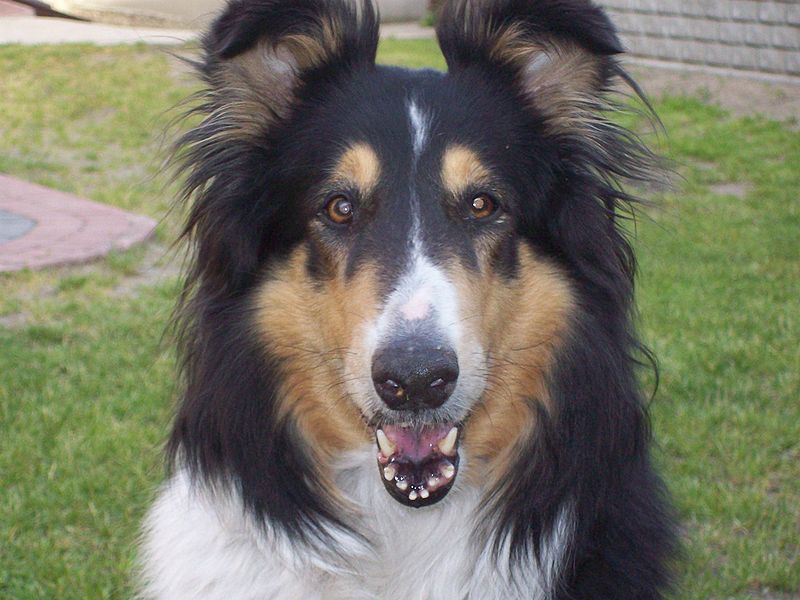 Collie training is a challenging business