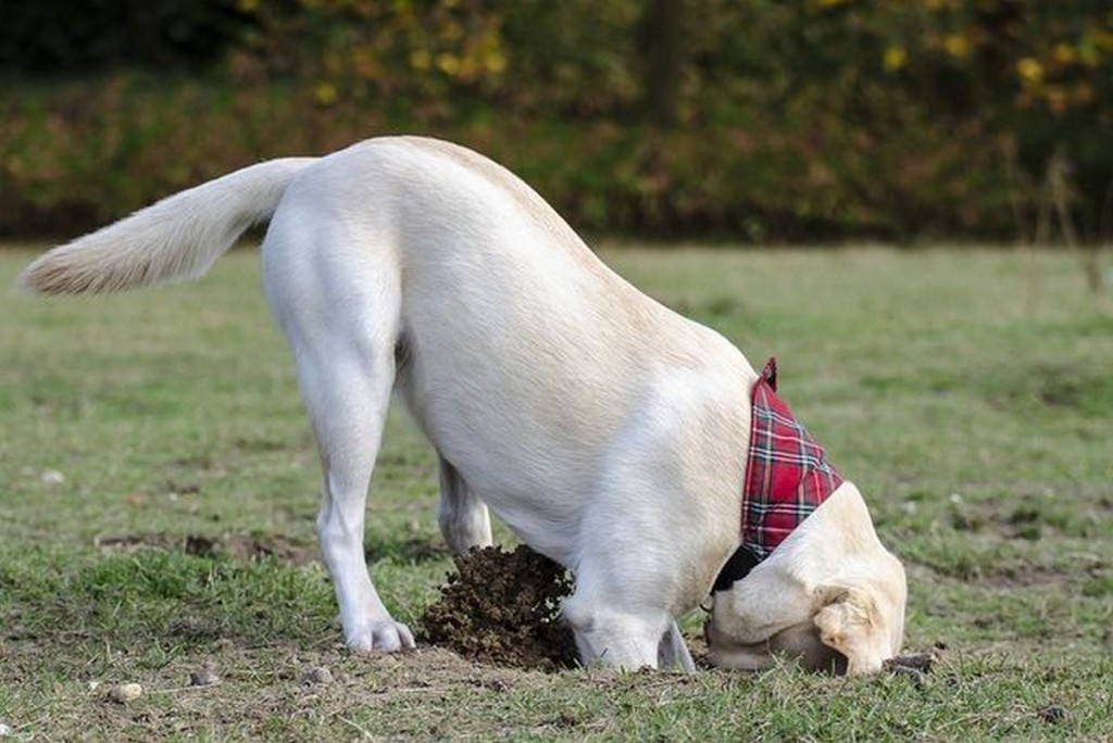 dog digging holes