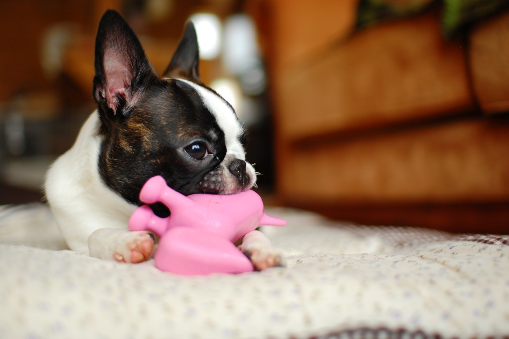 Boston Terrier training focuses on stopping chewing