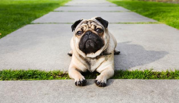 pug-sidewalk-628x363