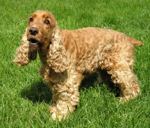 Dog Anal Gland Problems in golden cocker spaniel