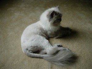 Clip it: the Lion Cut is popular with long haired cat breeds