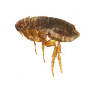Fleas on your pet must be managed