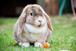 Help: A lop-eared rabbit like the one that has been lost in south-east England