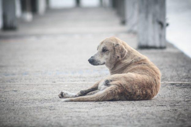 Street dogs of Cuba